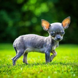 The owners of this chihuahua let me photograph it athellip